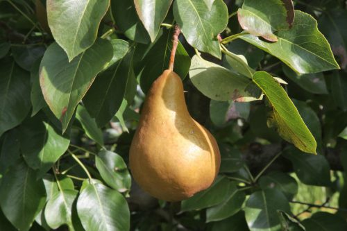 Types of pear