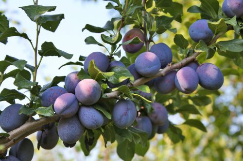 Types of plum