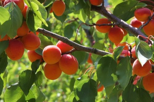 Types of apricot